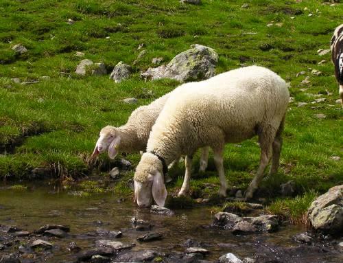 Wo die Herden bis zum Gletscher wandern